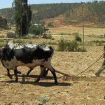 Boer in Ethiopië